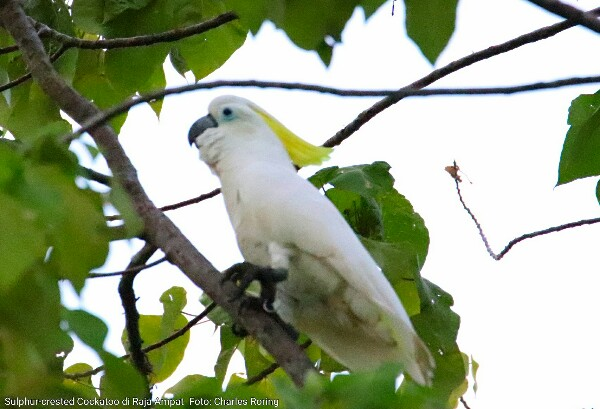 Sulphur-crested Cockatoo (kakaktua jambul kuning)