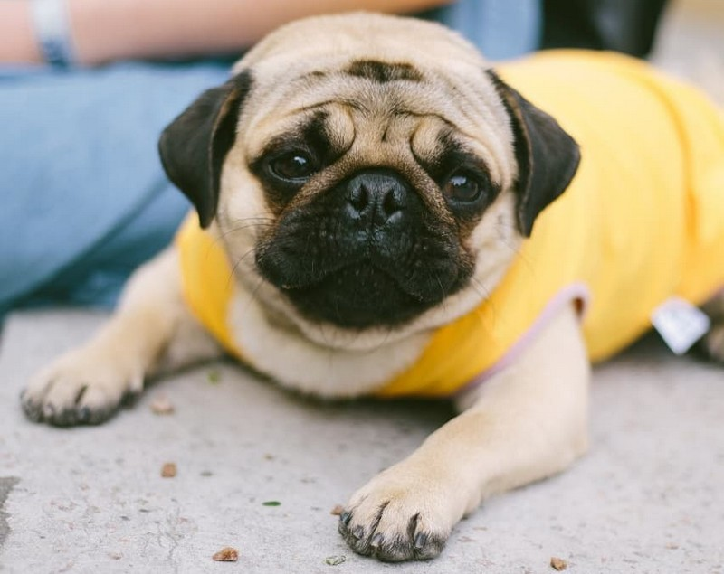 Le Carlin - Info et photos sur la race de chien Carlin (Pug)
