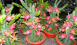 macam-macam tanaman buah dalam pot cepat berbuah