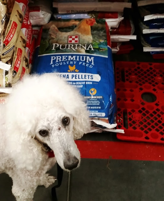 Poodle in front of Purina Chicken feed at Tractor Supply Co.