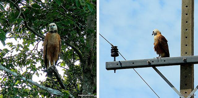 Gavião-belo, ave típica do Pantanal do Mato Grosso