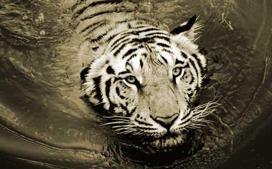 renang harimau