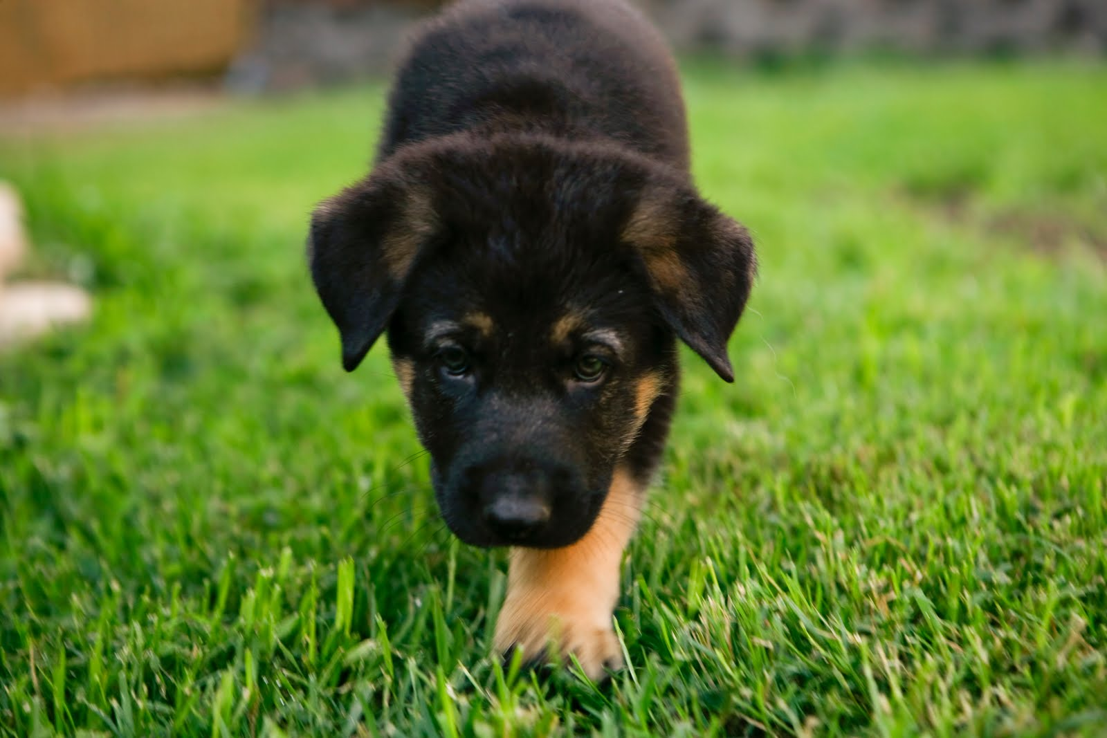 Boxer puppies for sale in california and breeders