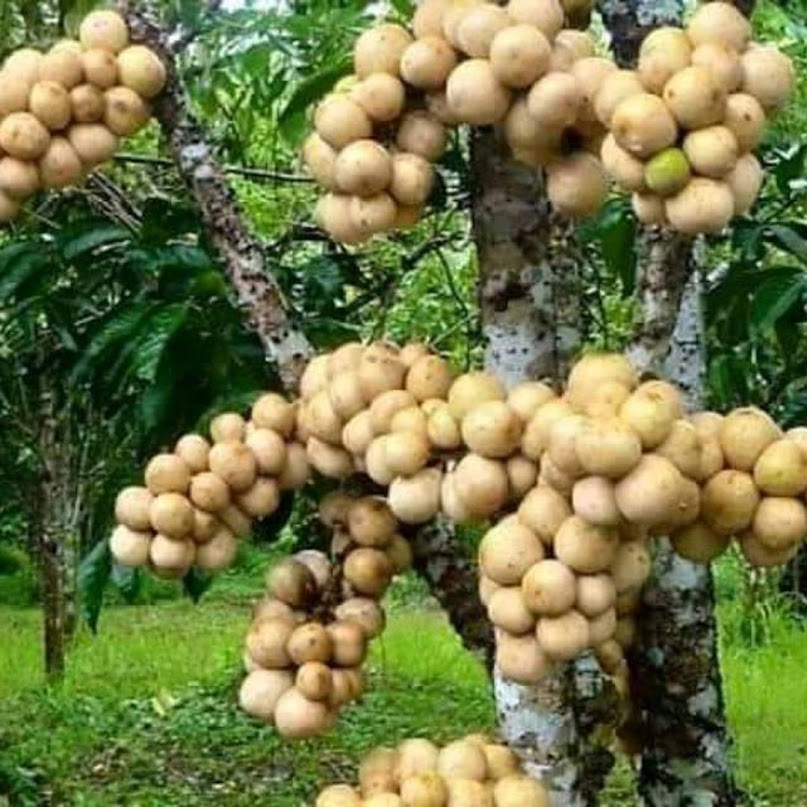 Bibit buah duku hasil okulasi jadi cepat berbuah Sumatra Barat