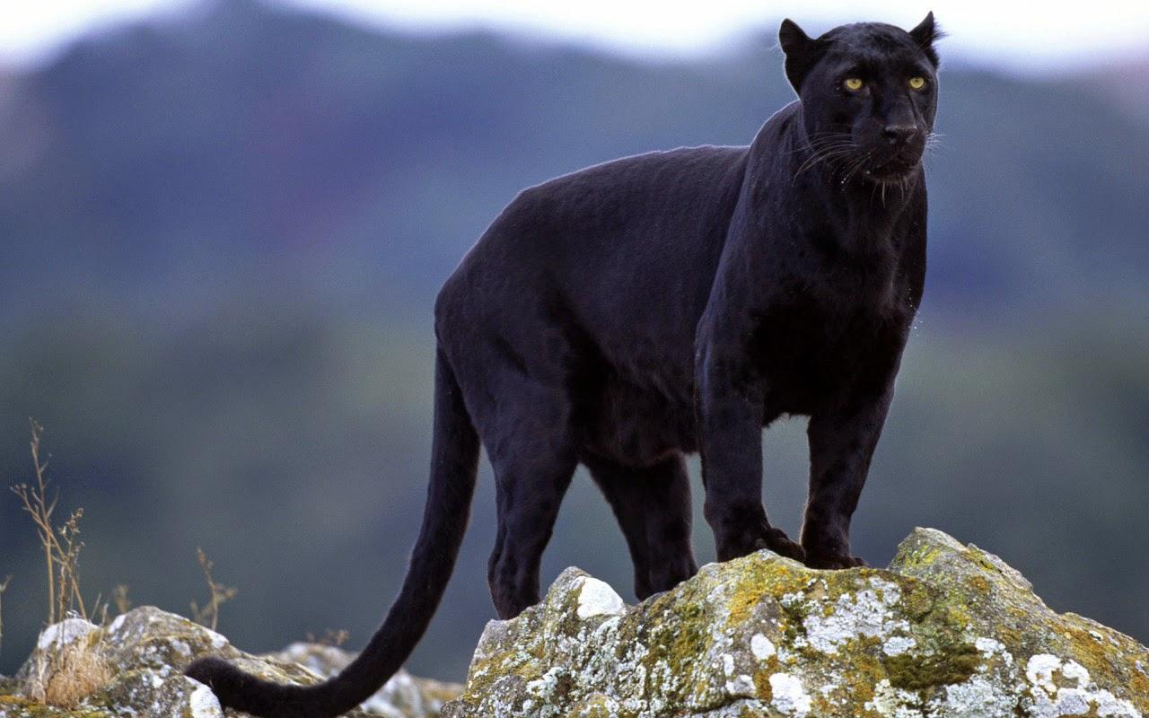 Black Panther Atau Macan Kumbang