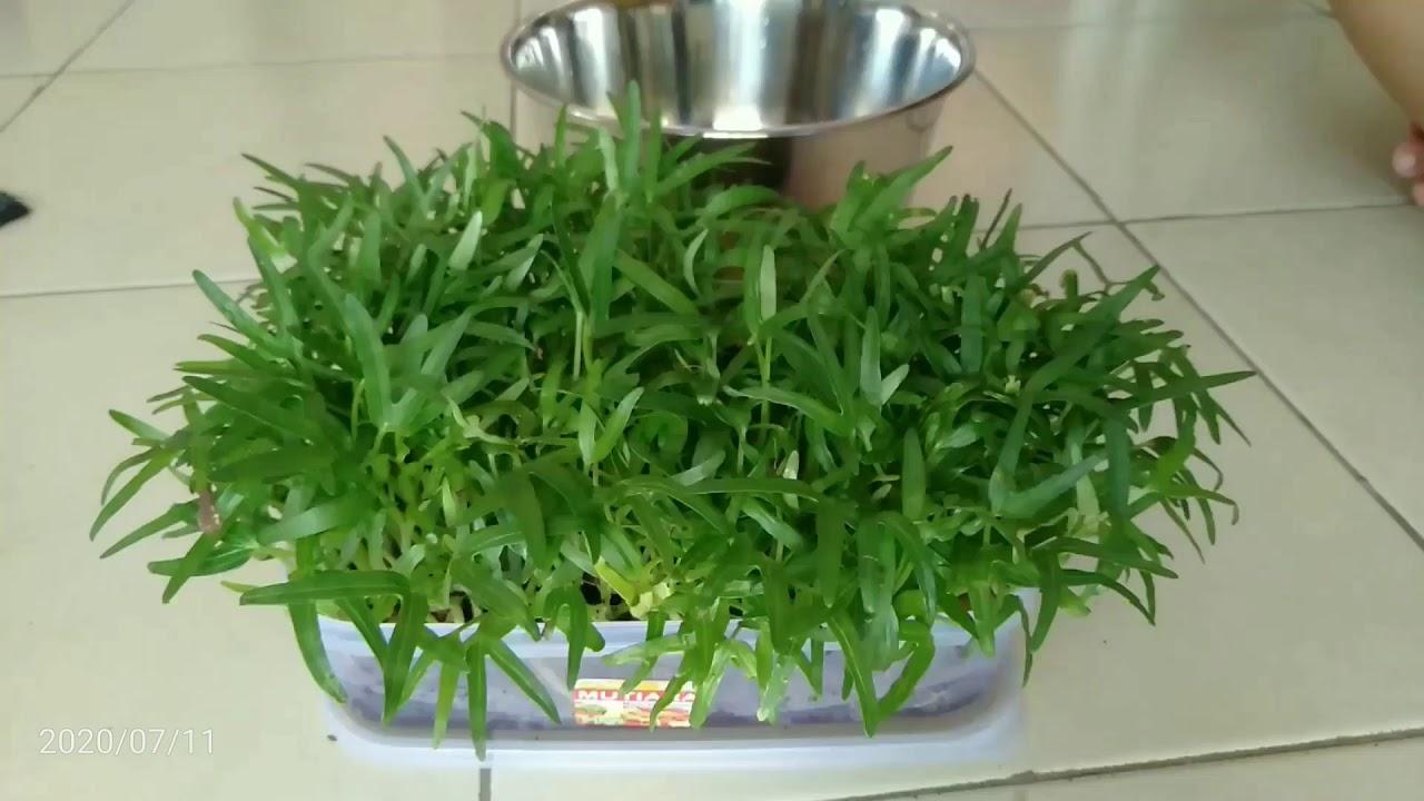 Microgreen Kangkung Tak Butuh Lahan Besar dan Perawatan Rumit