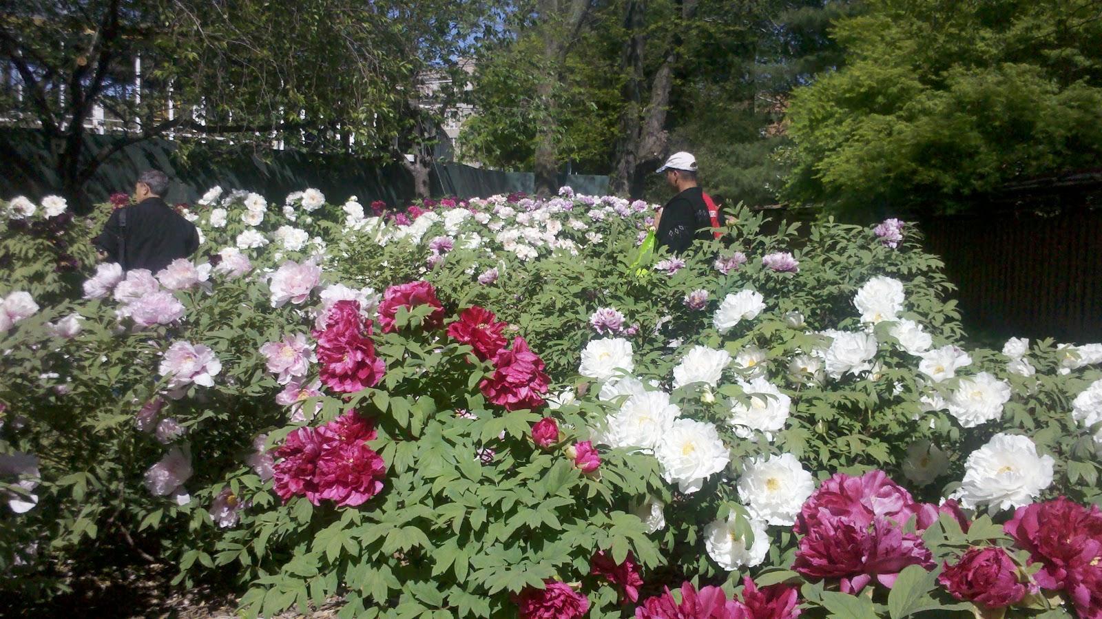 Japan Garden Flowers: Unique To NYC: Brooklyn Botanic Garden: Eastern Parkway