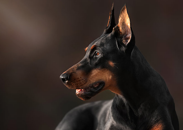 doberman price in dehradun,doberman baby price in dehradun