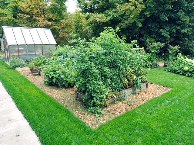 tomato plants raised bed in a frame mulch