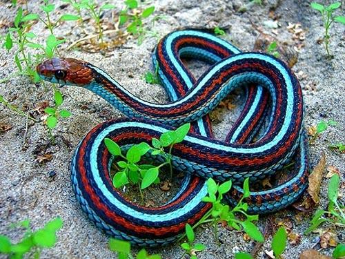 rắn nhiều màu
