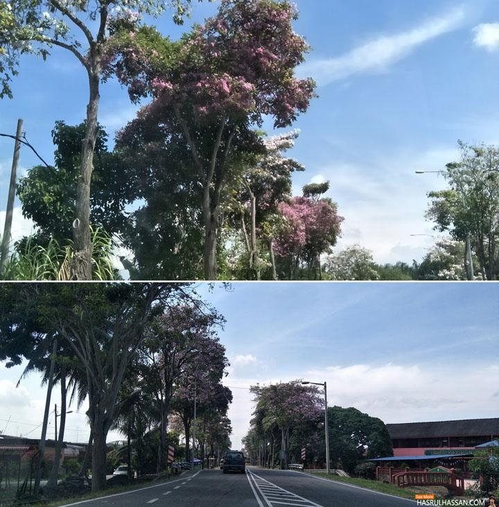 Musim Bunga Tekoma (Sakura Malaysia) di Parit Buntar