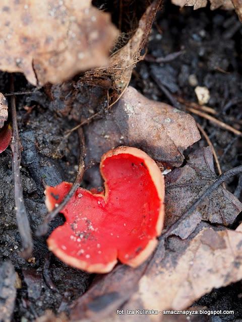 sacroscypha austriaca, grzyby jadalne, grzyby chronione, grzyb, grzybek, las, prosto z lasu, grzybnięta, atlas grzybow, jaki to grzyb, grzybobranie, wiosna