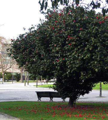 árvore de camélias