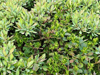 A hedge bush with two distinct shades of green leaves.