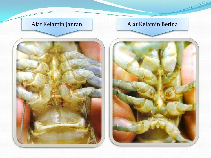 Jantina Lobster air tawar
