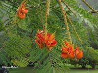 Colville's flowers - Ho'omaluhia Botanical Garden, Kaneohe, HI
