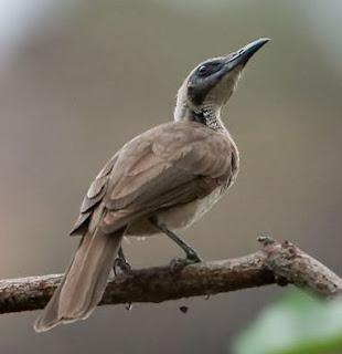 Suara burung cucak timor mp3