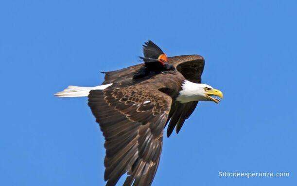El águila y su cría
