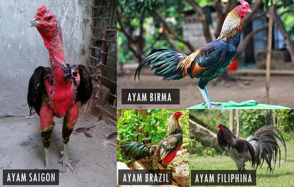 Foto Ayam Siam Yg Bagus 7 Jenis Ayam Aduan Terbaik Yang Wajib Anda Miliki Ketstar