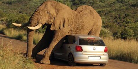Gajah Garuk Badan dengan Mobil VW