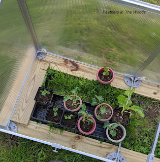 Seedlings in a cold frame greenhouse