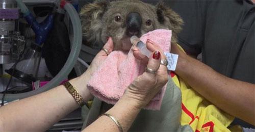 TERANCAM : Mungkin sekitar 30 persen Koala di Australia dehidrasi dan kelaparan karena kebakaran hutan. Foto CNN.COM