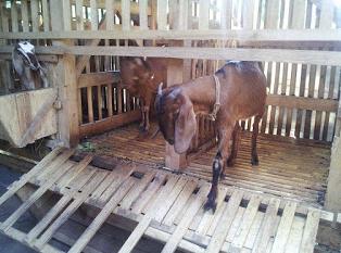 Beternak kambing sebelum memulai peluang perjuangan yang sangat menjanjikan tersebut maka di p Kabar Terbaru- PERSIAPAN SEBELUM BETERNAK KAMBING
