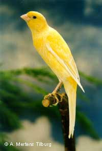11 Jenis Burung Kenari Yang Banyak Disukai