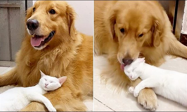 Golden Retriever Grooms His Best Friend Cat