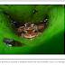 Bromélias servem de berçário para pererecas na Mata Atlântica