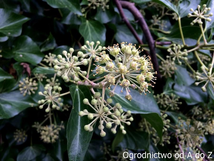 Hedera helix- kwiaty