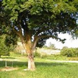 Mukjizat Rasulullah Muhammad SAW Pohon Tunduk Atas Izin Allah SWT