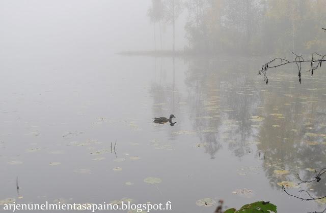 sumu, sorsa, luonto, Kuopio, vesi, lampi, syyskuu, lääkis, tavoitteet, opiskelu