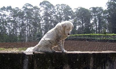 cão em cima de um muro