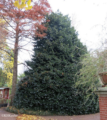 holly tree, London, December