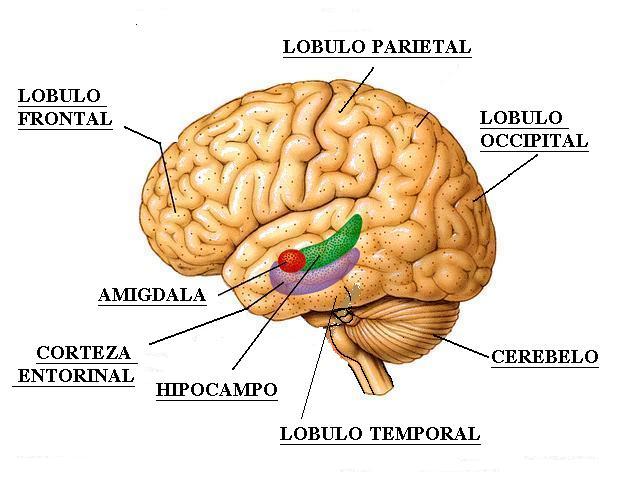 Medlebu: Amígdalas Cerebrales: Función