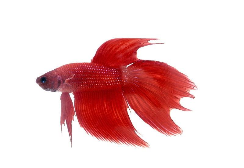 Image Red Betta Fish 2