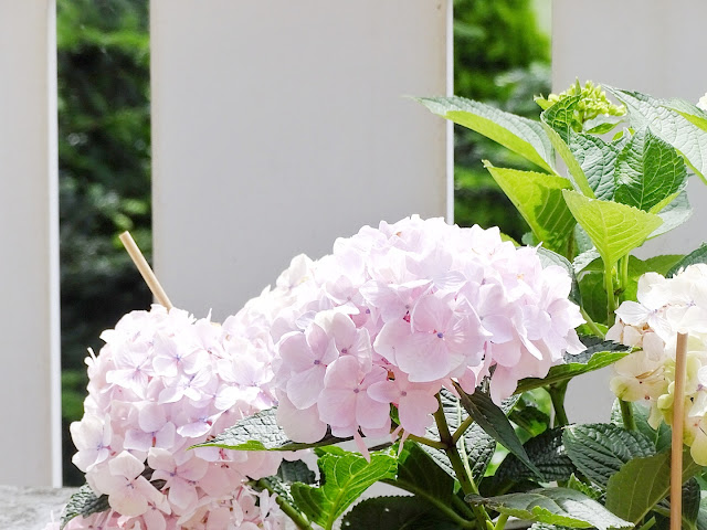 Liebling der Woche - Hortensien auf dem Balkon - www.mammilade.blogspot.de