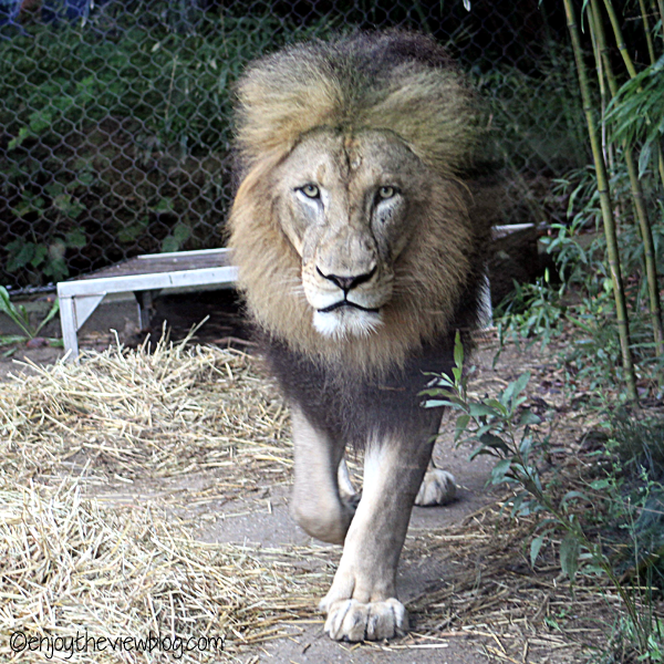 Male lion walking in straw