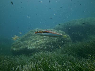 NP 280920 presi%25C3%25B3n%2Bpesquera%2Bdoncella VF - El IEO demuestra que la presión pesquera afecta a la alimentación y la condición física de los peces