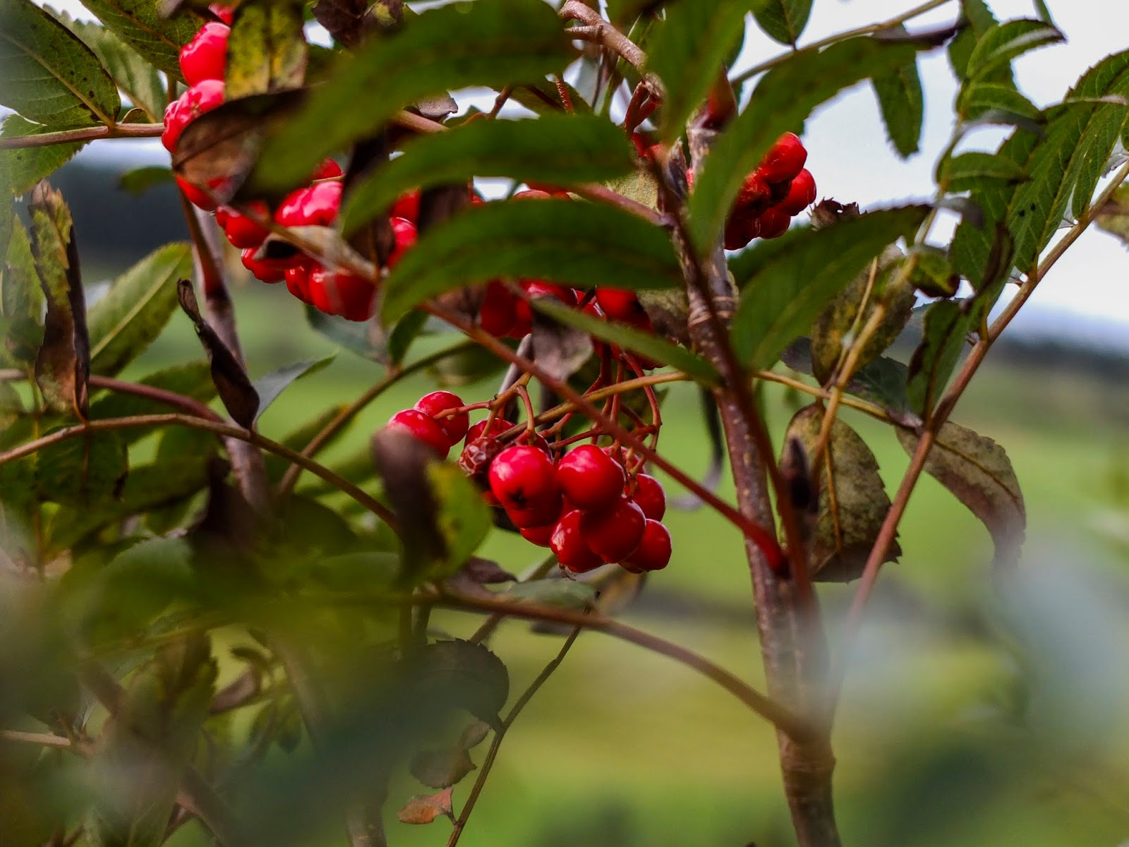 A close up of Mountain Ash berries hanging on a tree.