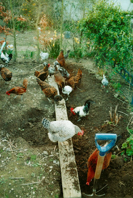 Hens and gardening - spreading compost