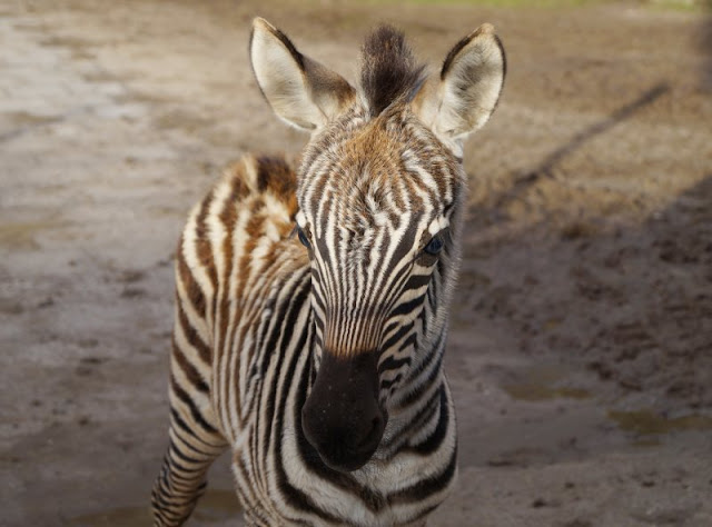 Frühling im Tierpark Gettorf (+ Verlosung). Unsere Kinder gucken gerne Tierbabys an, so wie dieses niedliche Zebra-Fohlen.