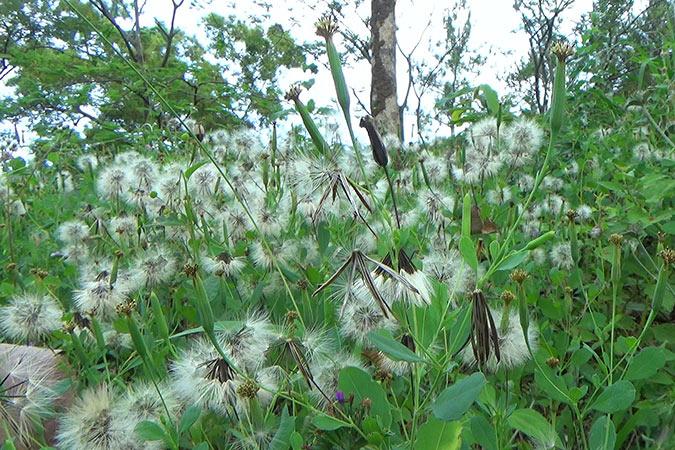 Dlium Yerba porosa (Porophyllum ruderale)