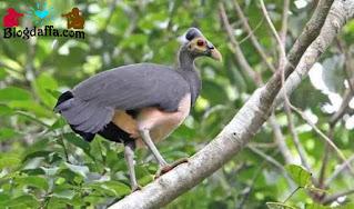 Burung gosong tanimbar hampir punah