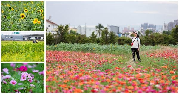 台中霧峰亞大醫院福新路花海,百日草、向日葵、波斯菊一次滿足
