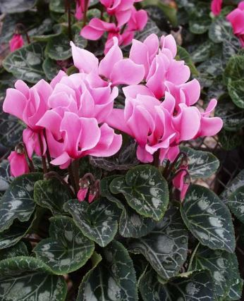 Cyclamen Persicum Indoor House Plant PICTURE