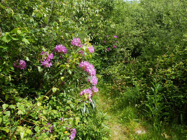 Rhododendrons in woods