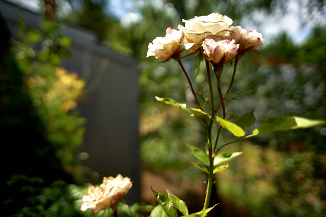 Roses in a garden by a home