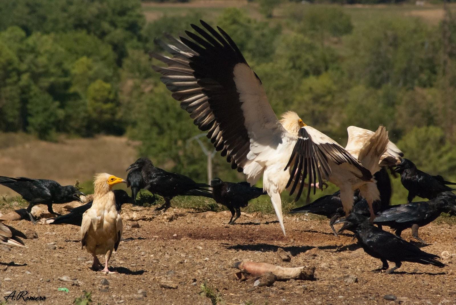 Además del buitre leonado, otras aves necrófagas como el alimoche (Neophron percnopterus) encuentran en el cadáver una importante fuente de alimento. Su menor tamaño les obliga a adoptar una posición secundaria y deberán esperar a que los buitres se retiren para que llegue su turno. Aínsa (Huesca).